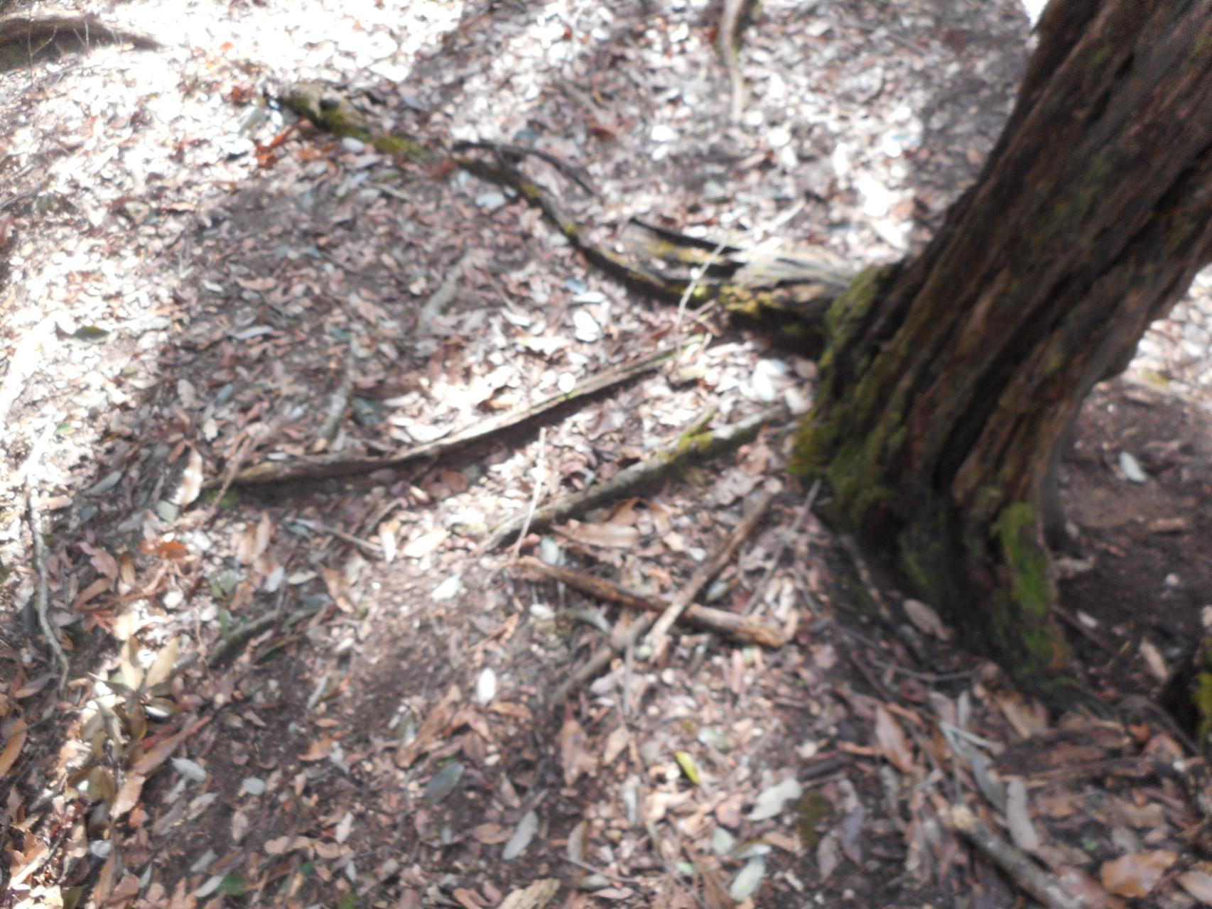 根土が雨で流されて根が露出