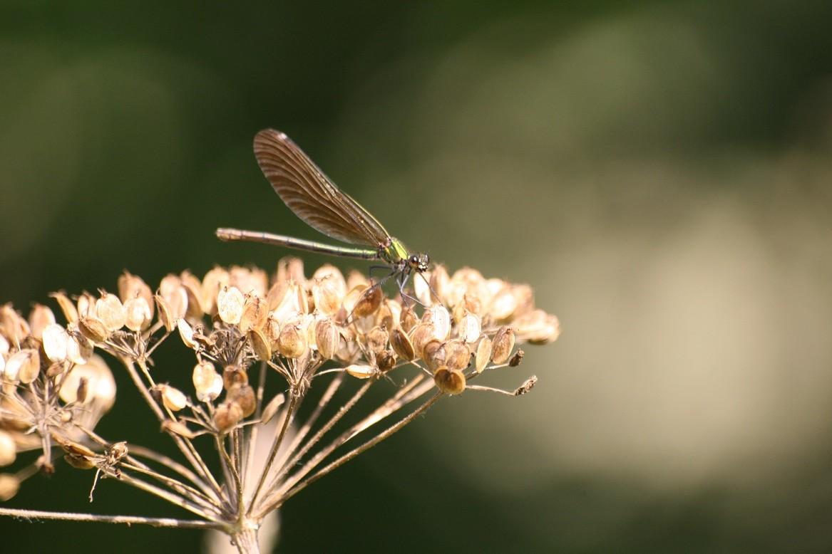 Autre variété de libellule ©moulindebeuzidou