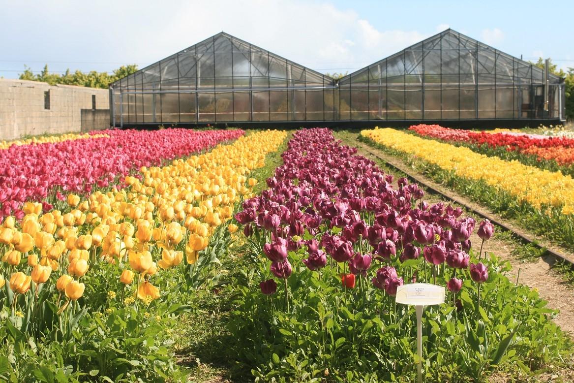 Tulips fields in pointe de la Torche ©moulindebeuzidou