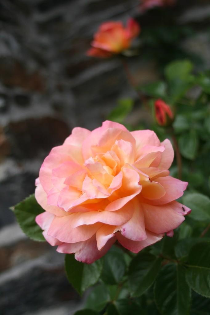 Du printemps au premières gelées, les roses se succèdent ©moulindebeuzidou