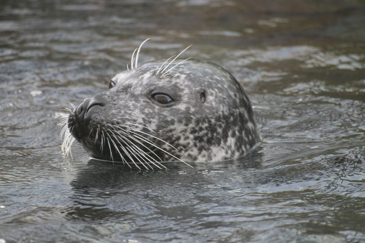 Océanopolis, les phoques veau marins©moulindebeuzidou