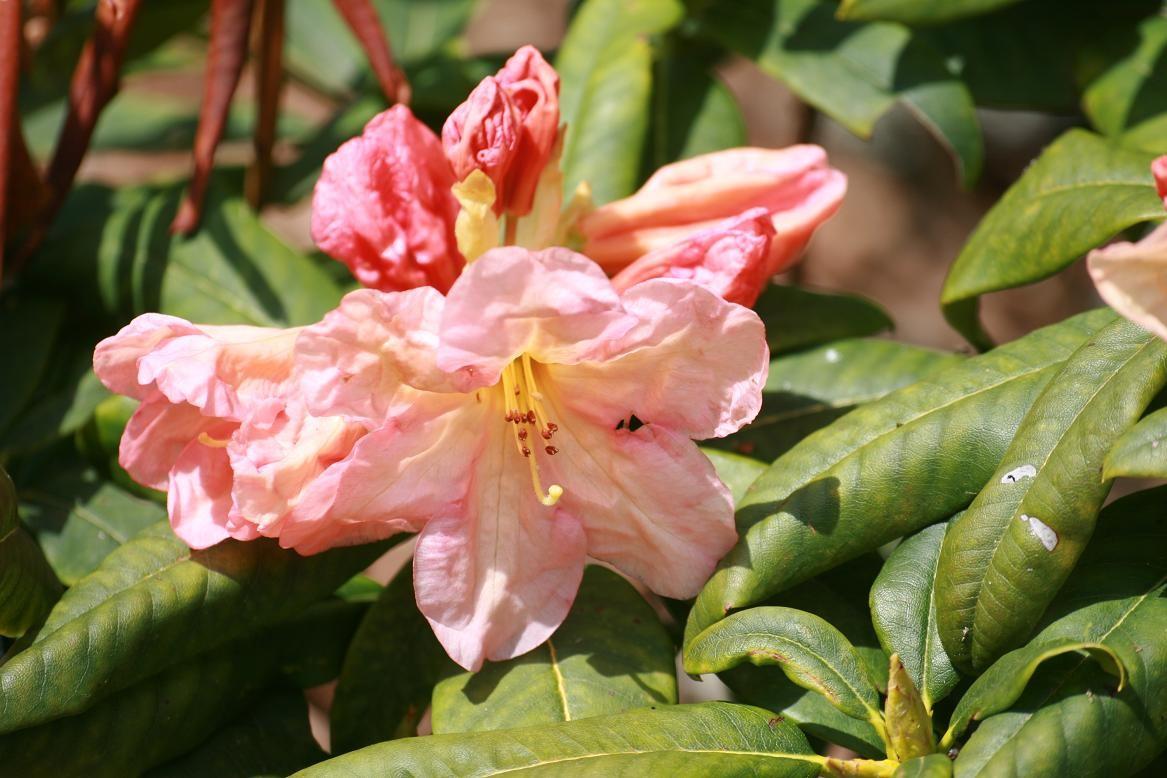 En avril, les rhododendrons sont les rois ©moulindebeuzidou