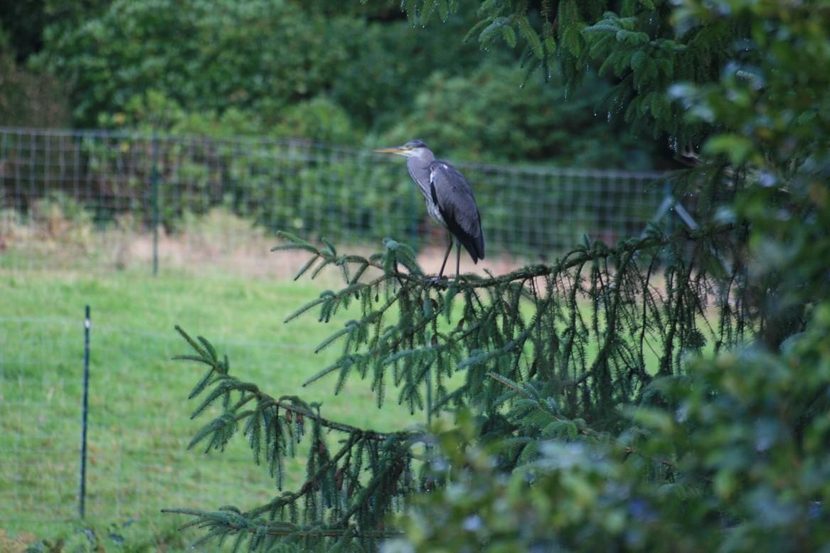 Les hérons visitent réguliérement la propriété ©moulindebeuzidou