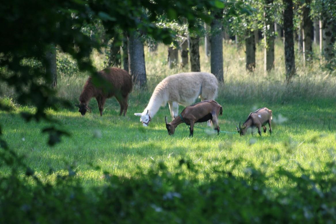Chèvres et lamas sont de sortie ©moulindebeuzidou