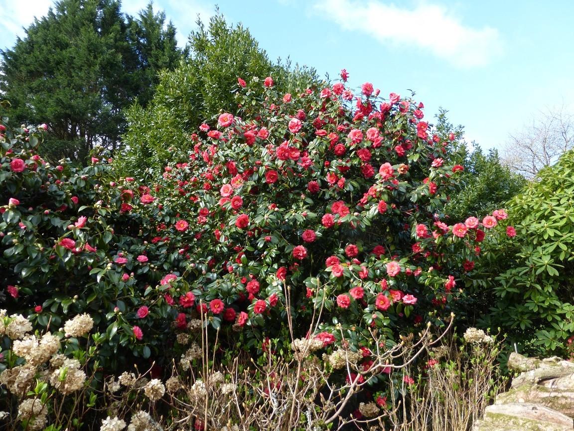 Du blanc au rouge en passant par le rose, les camélias donnent le signal du printemps ©moulindebeuzidou