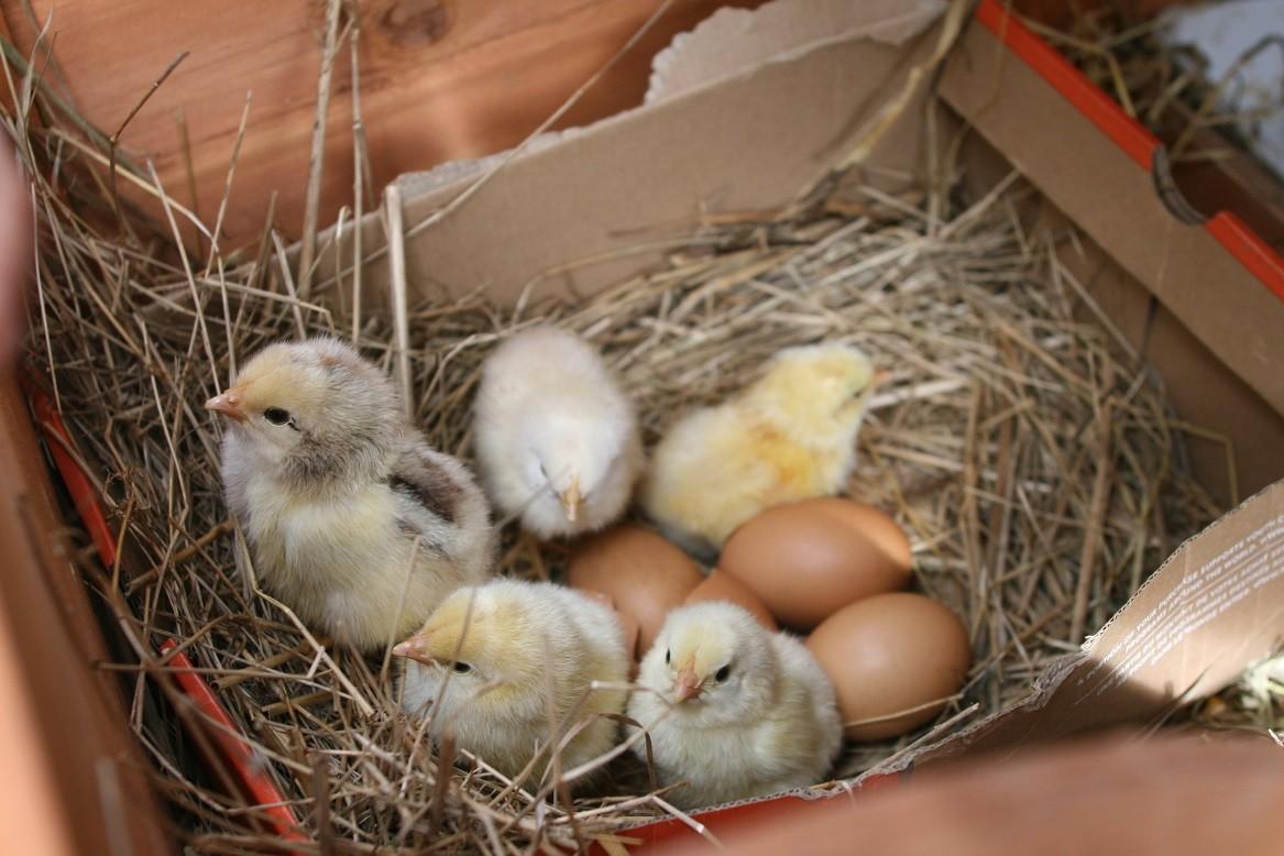Nous avons régulièrement des naissances de poussins ©moulindebeuzidou
