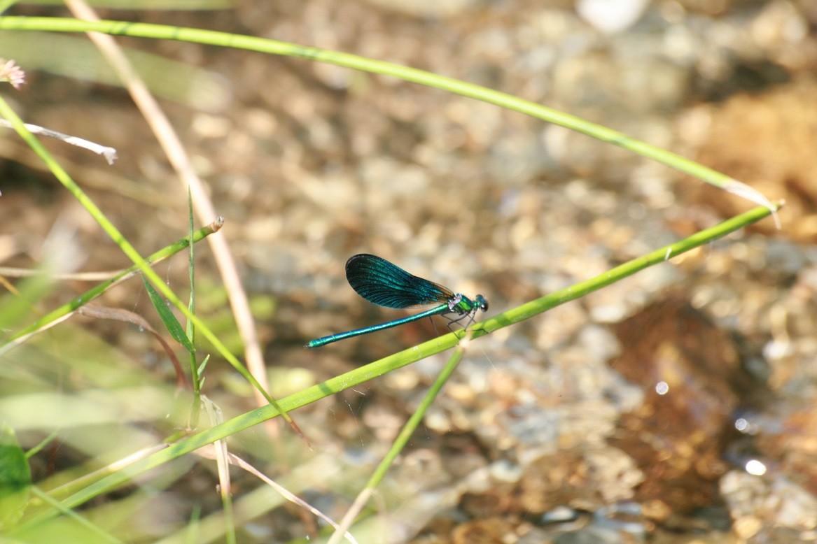 Au bord de la rivière, les libellules sont nombreuses ©moulindebeuzidou