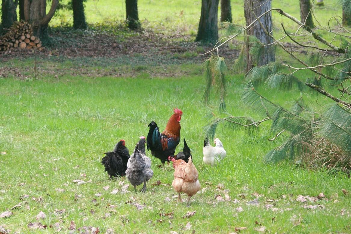 Dans la journée, les poules se promènent en liberté ©moulindebeuzidou