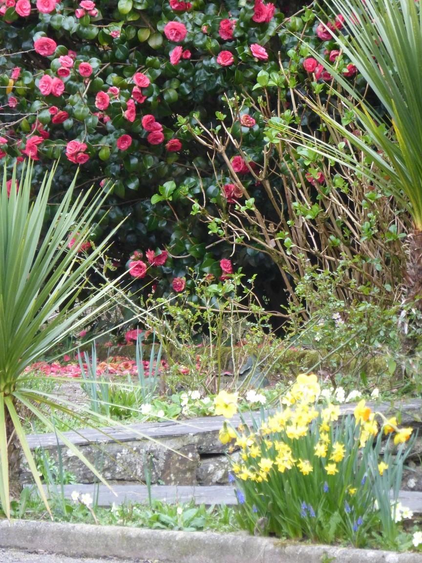 En mars, le jaune des narcisses répond au rose des camélias ©moulindebeuzidou