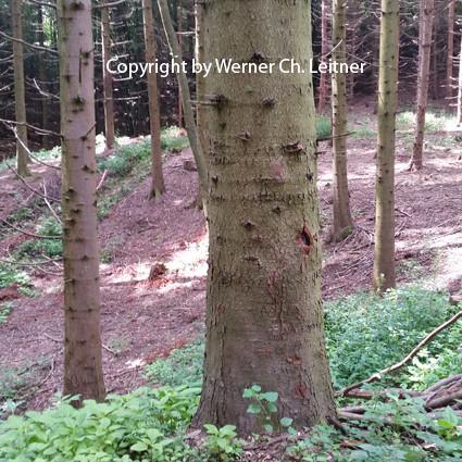 Bild: Tanne - Rindenstruktur - ein Fach aus Vorbereitungskurse Jagdprüfung Graz