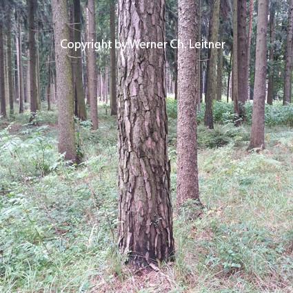 Bild: Kiefer - Rindenstruktur - siehe auch www.lehrprinz.at