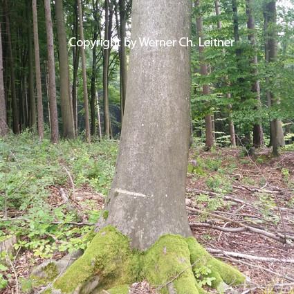 Bild: Rotbuche - Rindenstruktur - Jungjägerwissen DER LEHRPRINZ