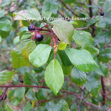 Bild: Faulbaum - Frucht - Jungjägertrainer
