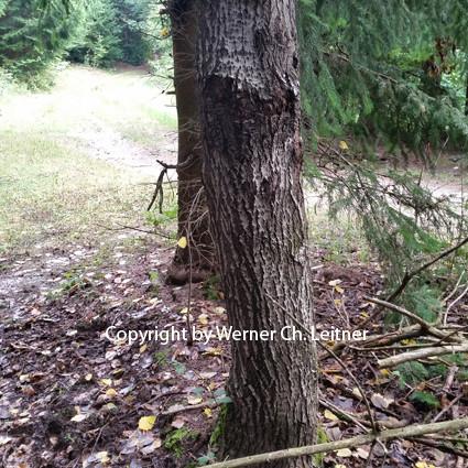 Billd: Zitterpappel - Rindenstruktur - siehe auch www.lehrprinz.at