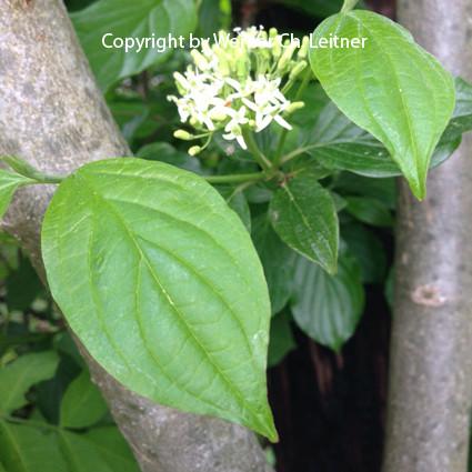 Bild: Hartriegel - Blüte - auch im Jagdkurs Siegert Waffen KG