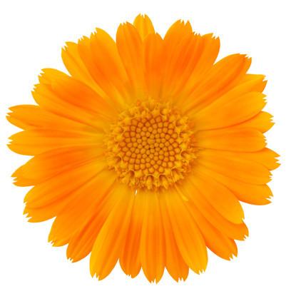 Ringelblume (Calendula officinalis) - Wundheilerin: Haut- und schleimhautheilend, vernarbend, salicylhaltig, entzündungshemmend, krampfstillend, desinfizierend, abschwellend, gallenflussfördernd, leberstärkend