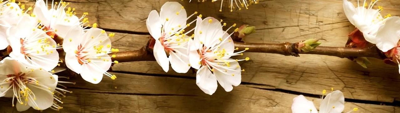 Le Clos Cosy - Une branche de cerisier en fleur
