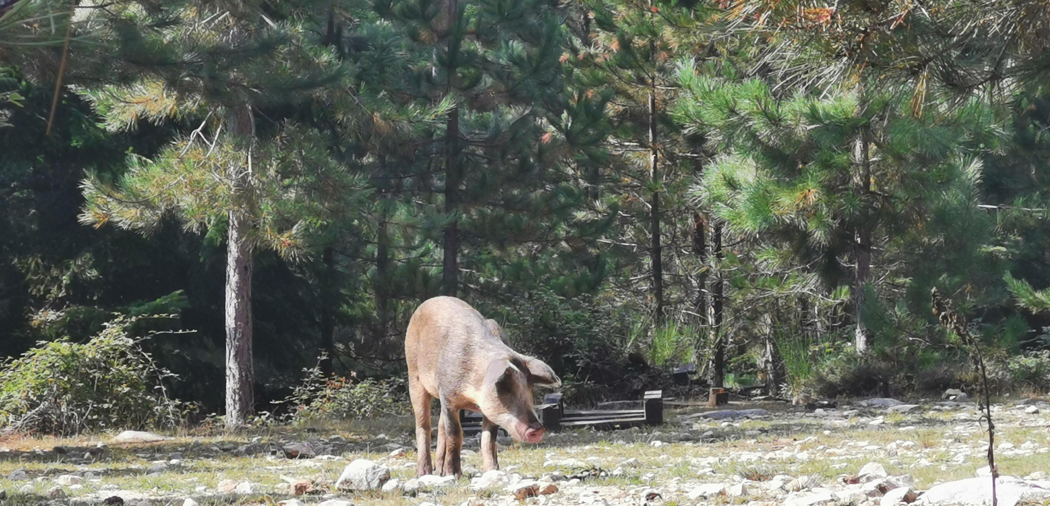 Cochon sauvage à chasser si vous manquez de vivres !!