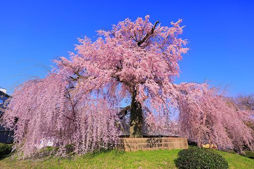 桜のシーズン到来