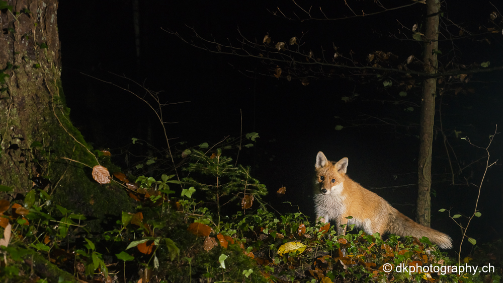 Backcountry ski Fotografie Norwegen dk photography demian knobel wildlife natur nature tierfotografie dkphotography dkphotography.ch photo dkphoto moskus musk ox moschusochse ochse