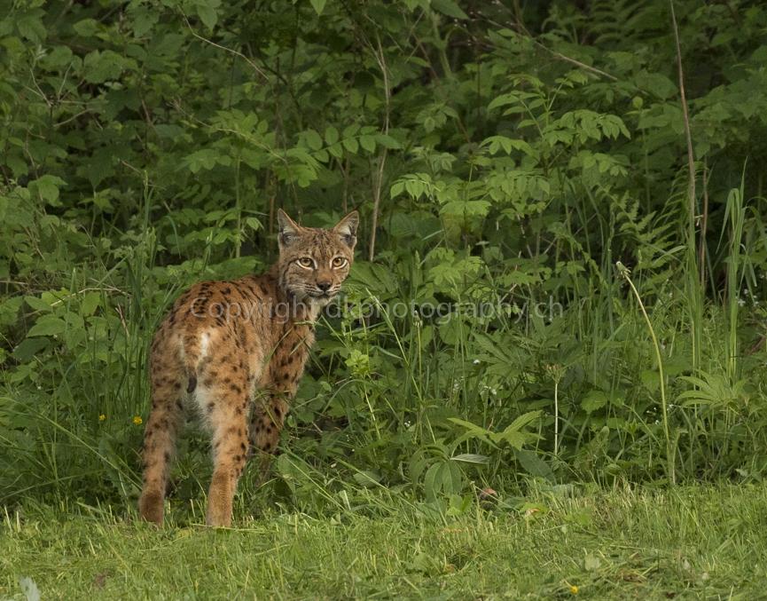Lynx Luchs eurasischer luchs Fotografie dk photography demian knobel wildlife natur tierfotografie dkphotography dkphotography.ch photo dkphoto