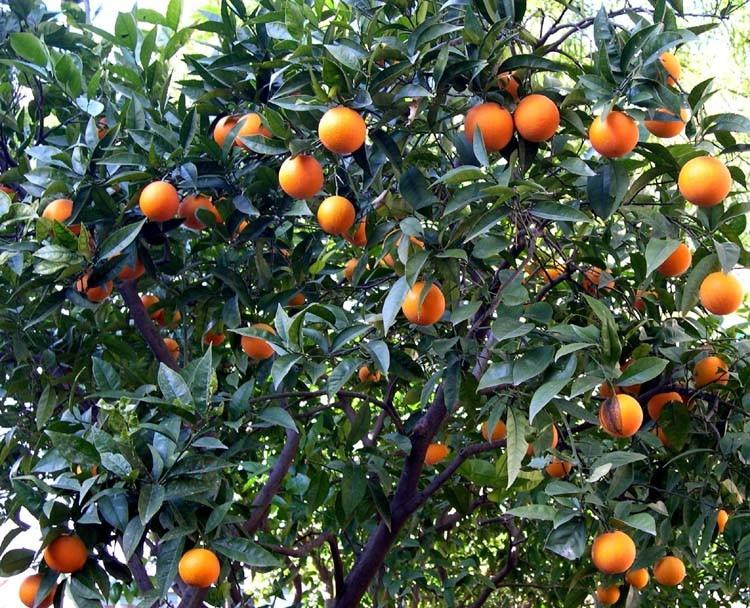 Апельсиновое дерево в саду Апельсинов на авентинском холме