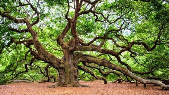 Foto eines sehr knorrigen, alten Baumes
