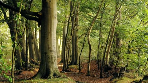 Foto von Buchen im Wald