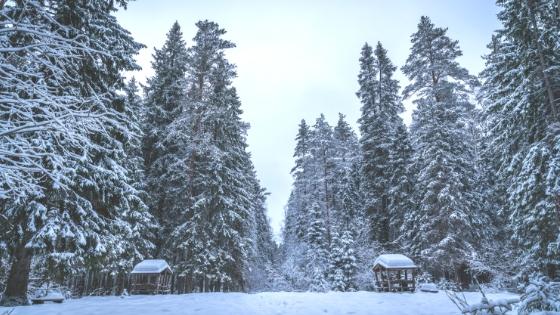 Schneebedeckte Fichten