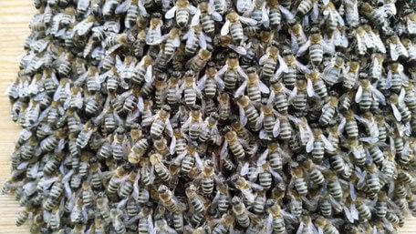 Bienenvolk Honigpiraten Imkerei