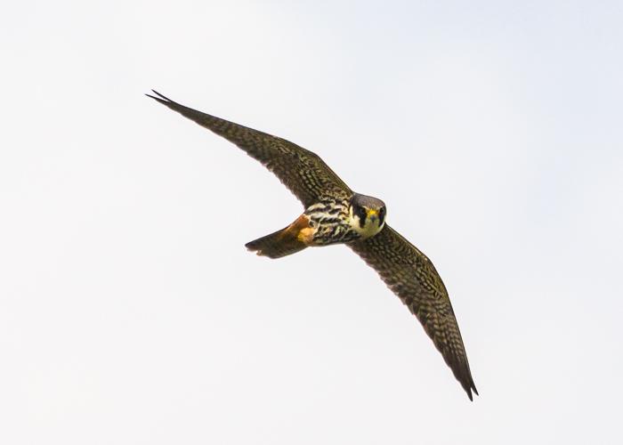 Über den Heckenlandschaften jagt der selten gewordene Baumfalke Kleinvögel und Fluginsekten... (c) Bertram Steiner