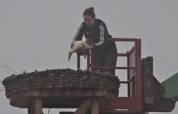 Die Tierpflegerin von Boyo Lessing setzt den zur Adoption frei gegebenen Storch in das Nest zu den beiden anderen Jungstörchen. (c) Hellwig