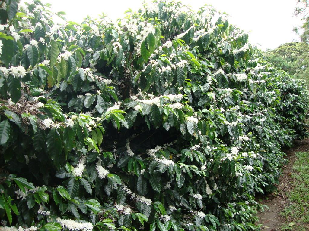 Blühende Kaffeepflanzen