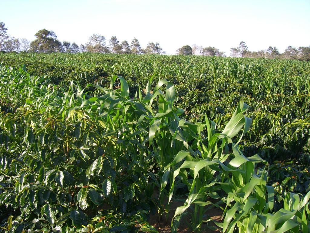 Kaffee und Mais im Einklang