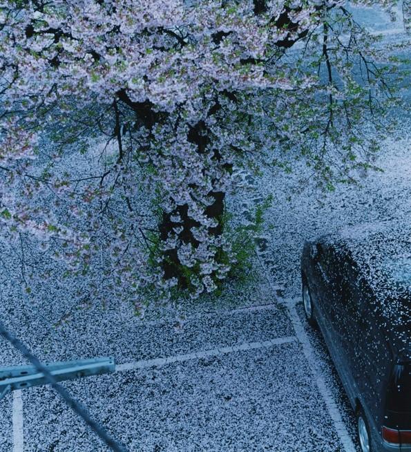 散る花びらがあまりに切なく美しい1枚。宮城県大河原町で撮影されたもの /  photo by haruka fujita