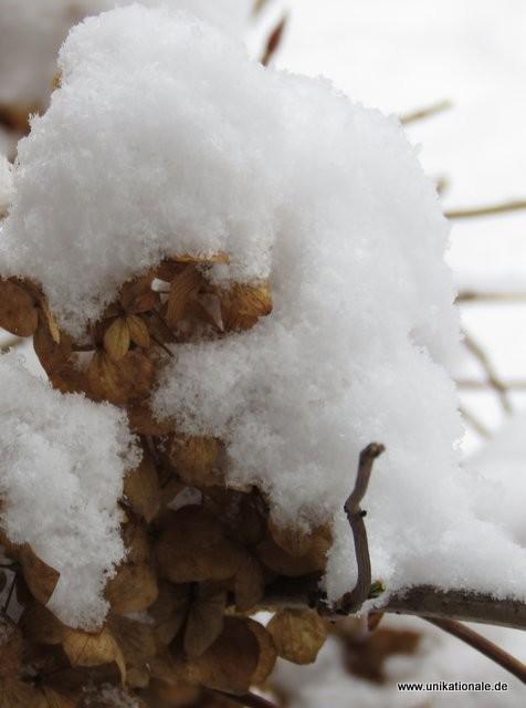 Foto und (c) Astrid Maul - Schnee auf Hortensie