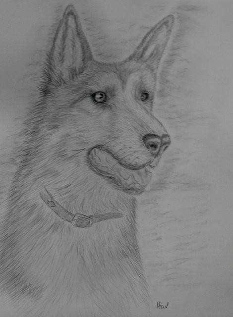 Schäferhund, Bleistift, 30 x 40cm