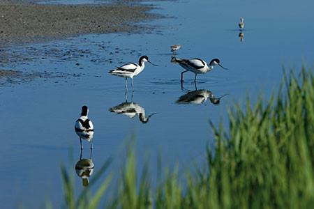 Gedeckter Tisch: Im Brackwasserwatt finden Watvögel ihre Nahrung
