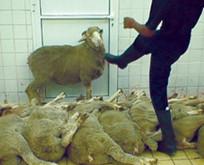 Bild: Tritte gegen Schafe