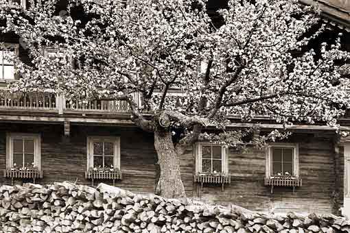 Baumblüte in Obermauern im Virgental, Osttirol