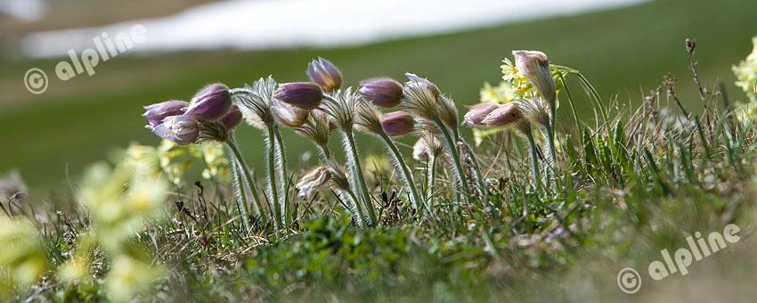 Südtirol, Alpen- Blumenwiese auf der Seiser Alm im Schlerngebiet, die Frühlingsanemone, (Pulsatilla vernalis)