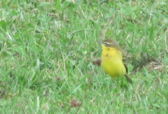 Männchen, Bättwil, 06.09.2018. Vogel mit grün-beigem Opferkopf, gelber Kehle und hellem (weiss-gelblichen) Überaugenstreif.