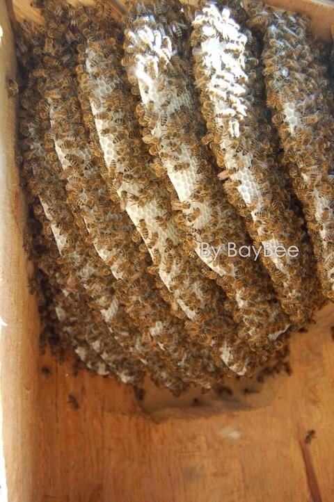Ansicht eines Bienenvolkes in einer Figurenbeute