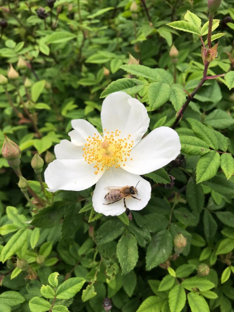 Zeidler Biene auf Rose
