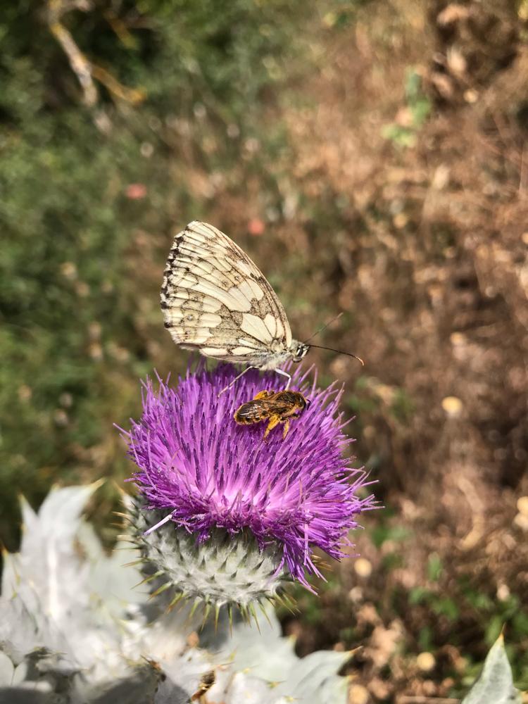 Coexistenz auf Distel, Wildbiene und Schmetterling