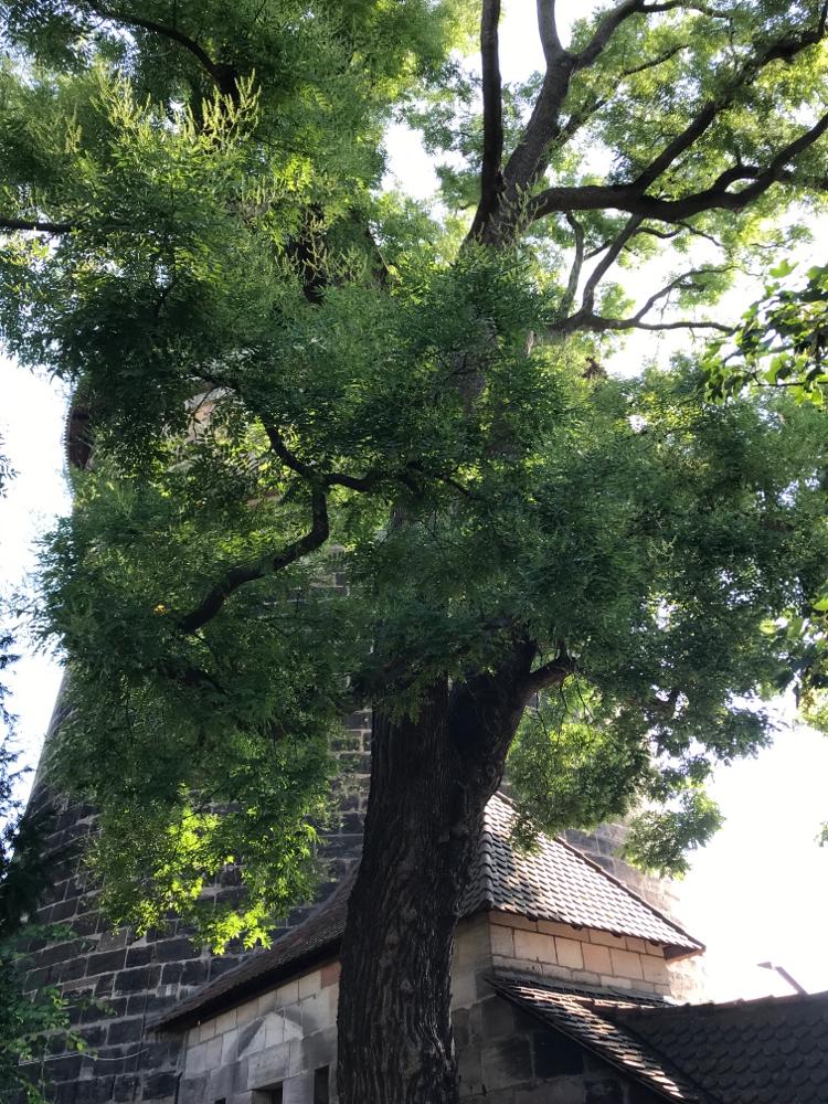 Japanischer Schnurbaum im Bürgermeistergarten, Nürnberg, Neutorzwinger
