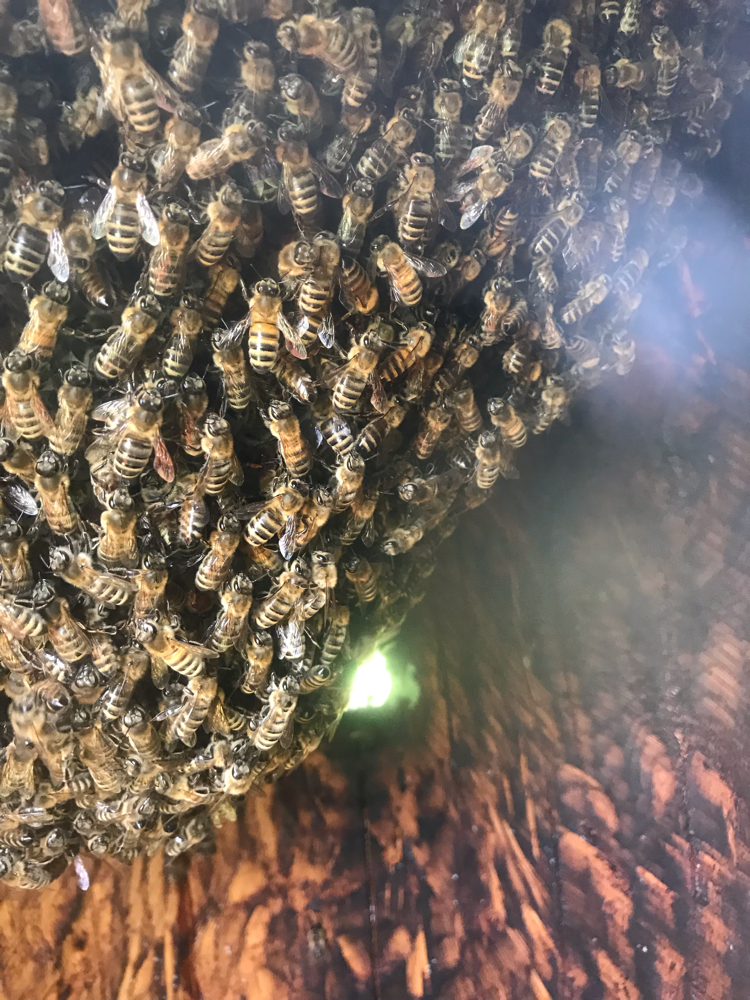 Bienen im Bauch der Banane