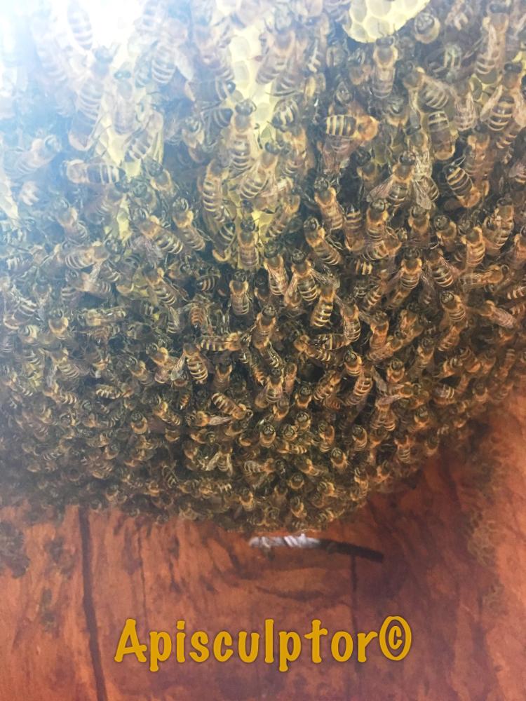 Bienenvolk im Zeidler