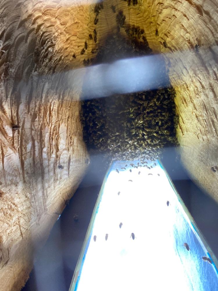 Juni 21, die Bienen richten es sich unter ihrem Spitzenkleid ein, durch die Fensterscheibe kann von hinten der Fortschritt des Wabenbaus beobachtet werden, Maria Montessori