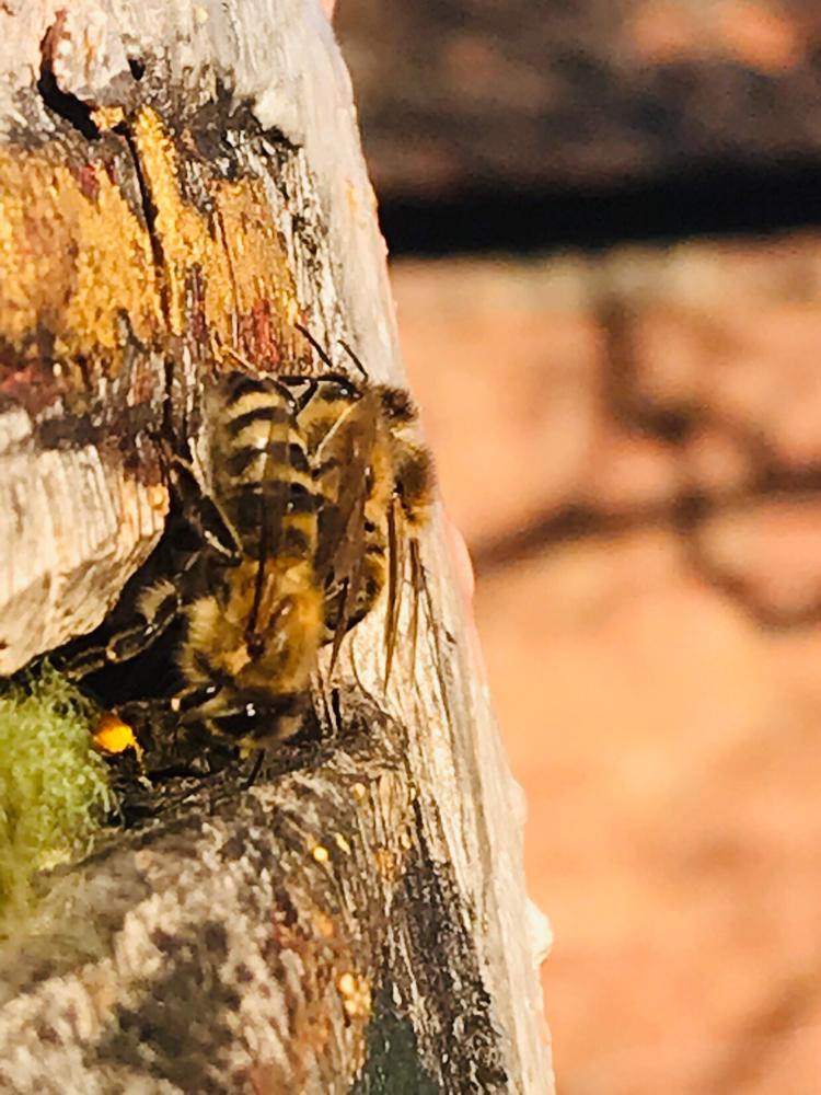 Bienen am Flugloch des Zeidlarius Norimbergensis